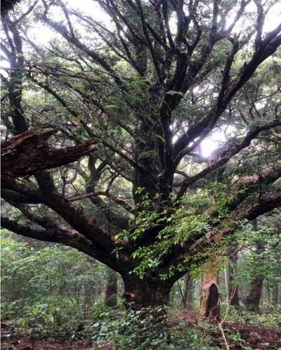 제주비자림나무.jpg